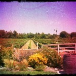 Vineyard at Lincourt Winery - I want to live here